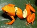 Amazonian Orange-Peal Frog