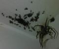 Spider Babies